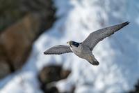 2021年 ハヤブサ初戦 - 北の大地で野鳥ときどきフライフィッシング