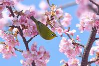 お花見♪<目白・鵯> - 風のむろさん 自然の詩