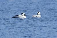 お池の鴨さん♪<神子秋沙> - 風のむろさん 自然の詩