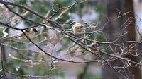 春の訪れを待つ桜、可愛いスズメたちの今、春の訪れを伝えてくれるスズメたち、もっこりとふくらんだ冬のその姿は可愛いスズメたち - 藤田八束の日記