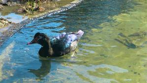 お散歩・・・新顔の水鳥の美しさにうっとり - noanoa laboratory