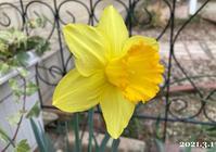 弥生3月、庭の花と卓球~ - ひとり言