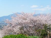 サクラ咲く - hibariの巣
