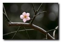 陽気に誘われてまた枝垂れ梅に会いに・・・。 - 気まぐれフォト