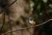 ルリビタキ02月27日 - 旧サンヨン野鳥撮影放浪記