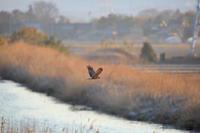 チュウヒ - 白鳥賛歌