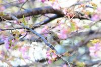 河津桜&ニシオジロビタキ - *la nature*