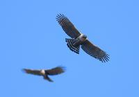 熊鷹 - 四季の鳥達歌
