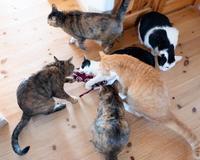 マタタビに群がる今日の6匹 - 猫と夕焼け