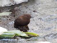 厳寒の渓流にいたカワガラス - コーヒー党の野鳥と自然パート3