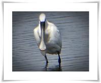 沼の鳥3月(ヘラサギ) - あおいそら
