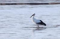 MFの沼に出かけてコウノトリとハクチョウのコラボ - 私の鳥撮り散歩