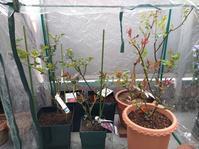 温室効果かな - 美しく香りも素晴らしい薔薇 ガブリエル ベランダ栽培
