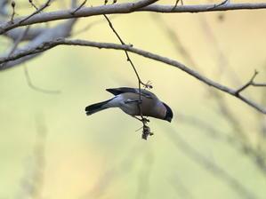 食べる事に夢中!ウソ達!  HNR - シエロの野鳥観察記録