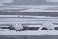 吹雪中の白鳥 - 野沢温泉とその周辺いろいろ2
