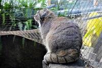 世界最古の猫『マヌルネコ』 - なんでもブログ2
