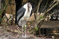 アフリカハゲコウ - なんでもブログ2