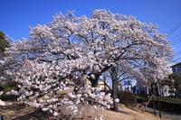 白くて綺麗な帯桜♪ - happy-cafe*vol.2