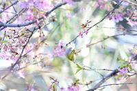 河津桜&メジロ - *la nature*