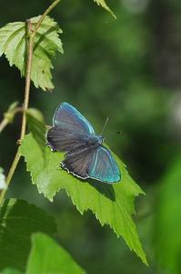 思い出の1枚の写真・・・ジョウザンミドリシジミ - 続・蝶と自然の物語