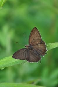 思い出の1枚の写真・・・クロミドリシジミ - 続・蝶と自然の物語