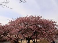 カワヅザク見ごろ ~前橋市敷島公園~ (2021/3/1撮影) - toshiさんのお気楽ブログ