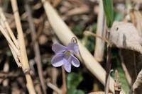 ■春を探しに (6)21.3.2(タチツボスミレ、タネツケバナ、ヒメウズ) - 舞岡公園の自然2