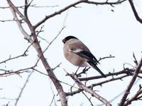 樹上のウソ♂と♀ - コーヒー党の野鳥と自然パート3