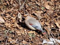 地面に降りていたヒレンジャク - コーヒー党の野鳥と自然パート3