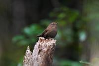 囀るミソサザイさん - 鳥と共に日々是好日②