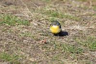 山道の黄色い鳥さん!<黄鶺鴒・白腹> - 風のむろさん 自然の詩