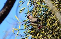 ヤドリギにヒレンジャク - azure 自然散策 ~自然・季節・野鳥~