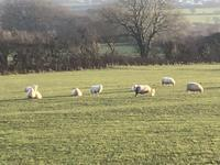 見えるかな?生まれたばっかりの子羊ちゃん - イギリス ウェールズの自然なくらし