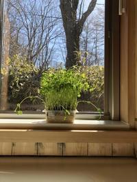今年のお試し 春待ちキッチンガーデン - 小さな森の小さな家