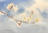白梅・・・空を見上げて - 青山一樹 水彩画のひととき