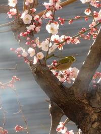 メジロとヒヨドリと梅の花等春到来 - 活花生活(2)
