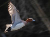 飛ぶ鳥を写す勢い - 虫のひとりごと