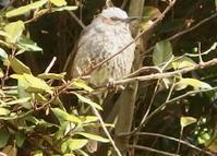 #野鳥 #ヒヨドリ『鵯 Hypsipetes amaurotis』 - 自然感察 *nature feeling*