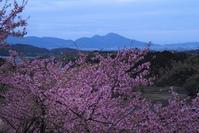 明日香村の河津桜と菜の花 - 峰さんの山あるき
