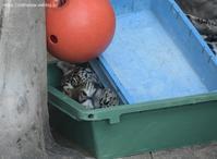 2021年2月天王寺動物園その3玩具で遊ぶルースちゃん - ハープの徒然草