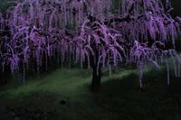 小雨の中の枝垂れ梅 - Capu-photo Digital photographic Laboratory