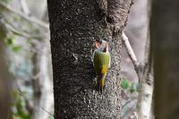 アオゲラさん - 鳥と共に日々是好日②