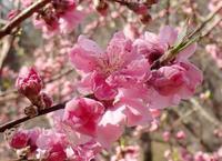 春のかおり - 旅のかほり