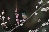 紅白の梅枝にルリビタキ! - 武蔵野の野鳥