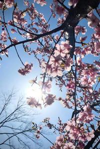 撮りたて河津桜 - ひとやすみ。