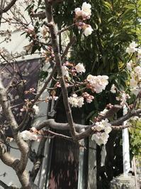 早咲きの桜は咲いたんだが・・・ね - 音作衛門道楽日記