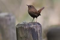 杭にとまるミソサザイさん - 鳥と共に日々是好日②
