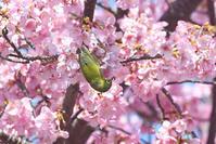 お花見🌸<目白・鵯> - 風のむろさん 自然の詩