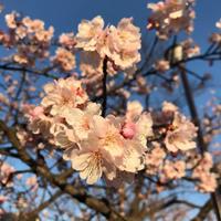 桜、早くね? - CHALKARTと日々と私