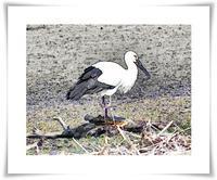 沼の鳥3月(コウノトリセグロカモメ) - あおいそら